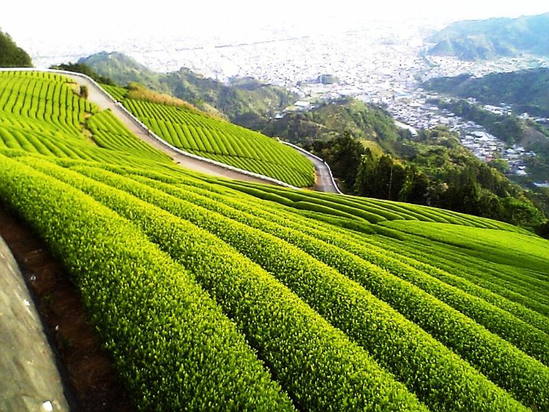A côté de Kyoto, découvrir le thé vert de Uji